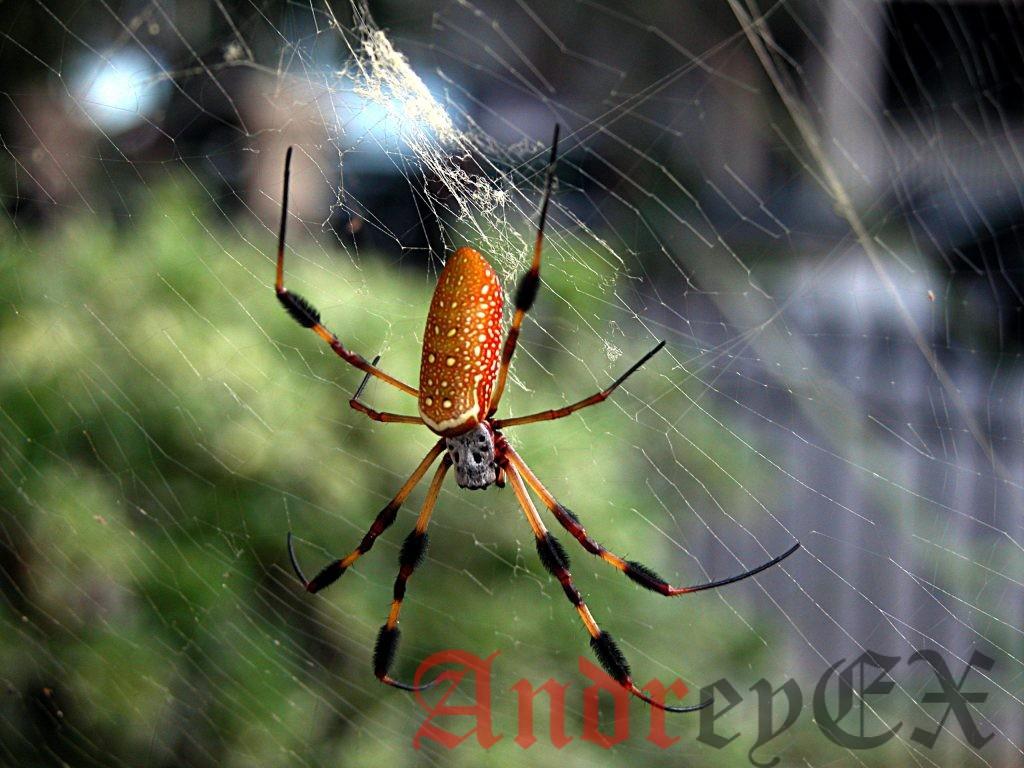 паук Nephila - золотопряд